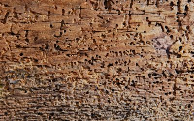 What are borer, and how do you keep them away from your house?